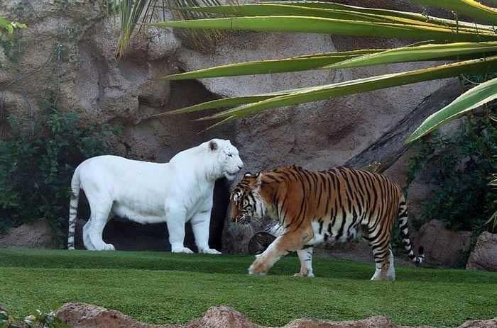 Stunning Albino Bengal Tiger Rare Animals