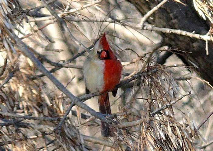 The Cardinal Gynandromorph Rare Animals