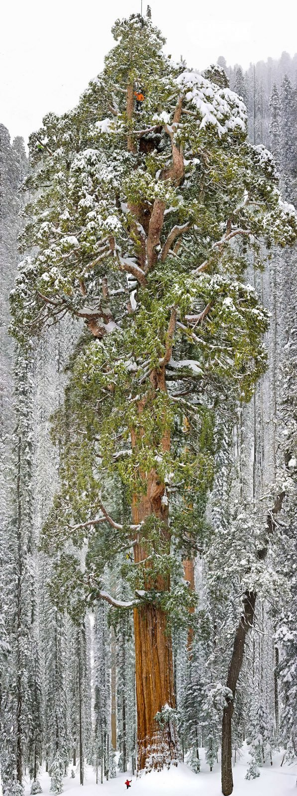 The President, Third-Largest Giant Sequoia Tree In The World, California Magnificent Trees