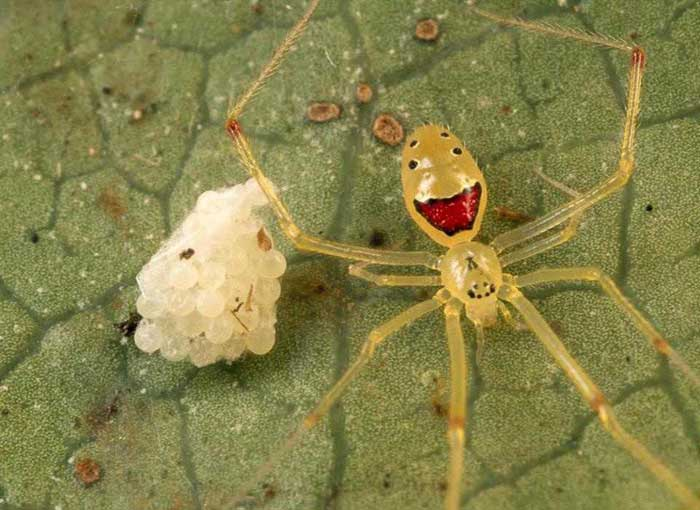 Theridion grallator – the happy faced spider Rare Animals