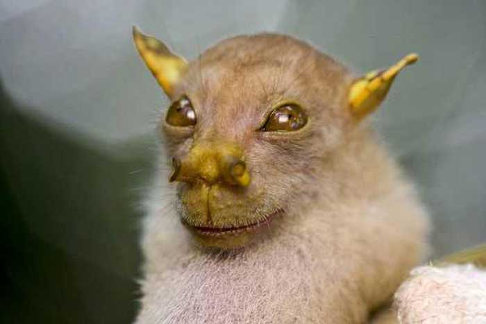 Tube Nosed Fruit Bat Rare Animals