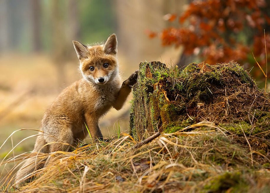 Foxes at Wild Photos