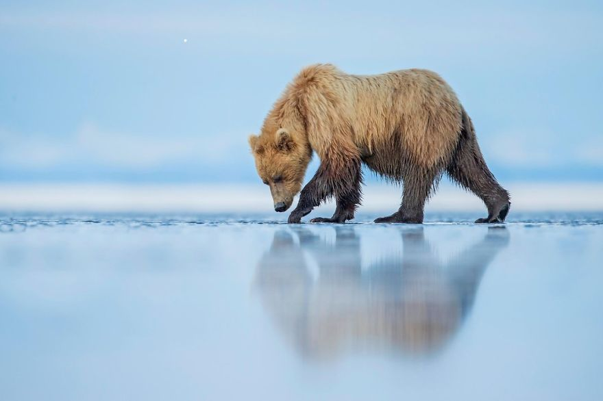 A Brown Bear Walks Across An Estuary, (lake Clark National Park, Alaska Photo Contest
