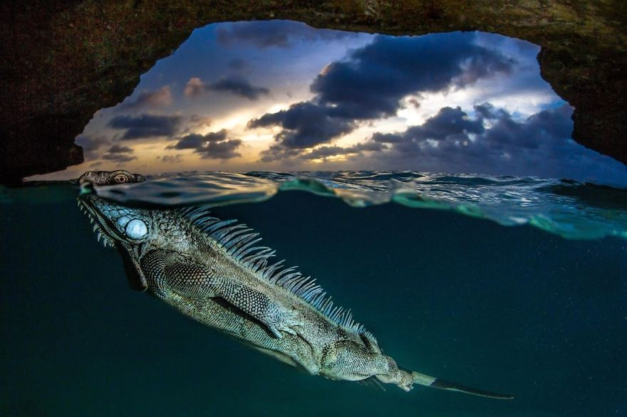 A Green Iguana Surfaces For Air, Bonaire, Netherlands Photo Contest