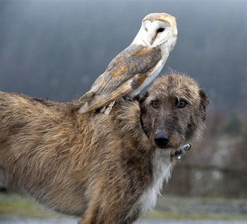 Animals Riding on top Animals 1 - Owl Riding Dog