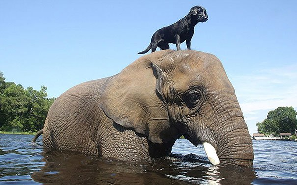 Animals Riding Animals 13 - Dog on Elephant