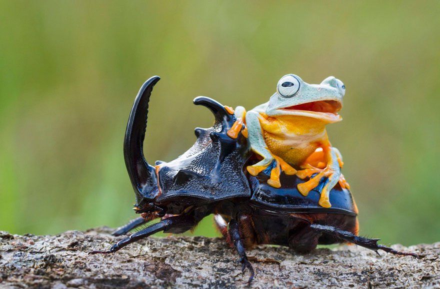 Animals Riding other Animals 13 - Frog Riding Beetle