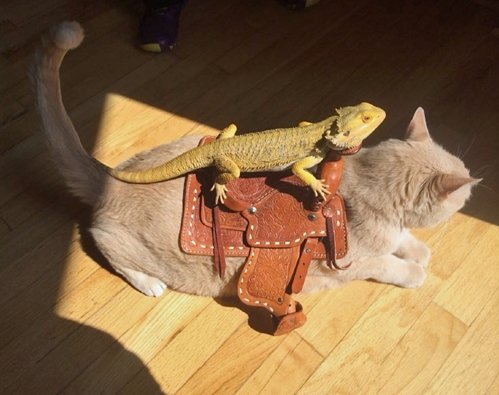 Animals Riding Animals 17- iguana on cat