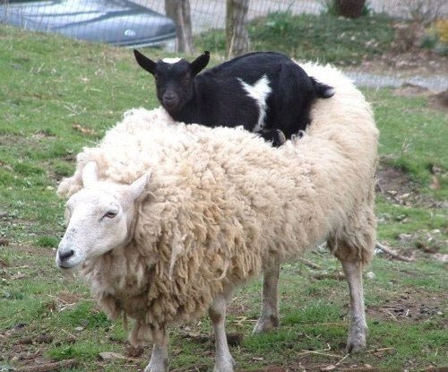 Animals Riding Animals 4 - Goat on Sheep