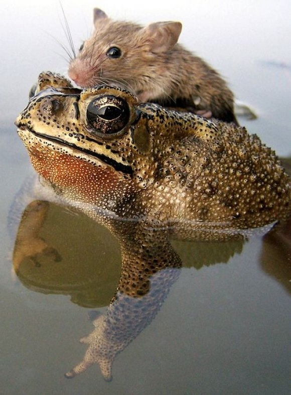 Animals Riding other Animals 4 - Mouse Riding Frog