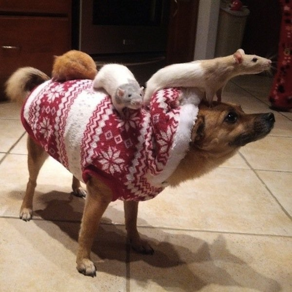 Animals Riding other Animals 5 - Hamster Riding Dog