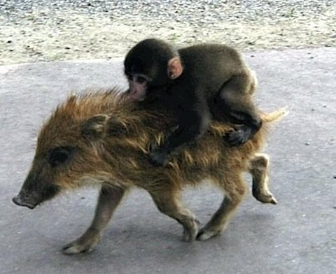 Animals Riding Animals 5 - Monkey Riding Pig