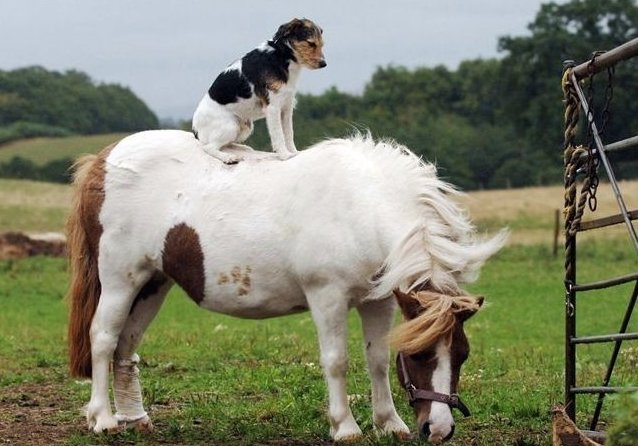 Animals Riding Animals 7 - Dog on Horse