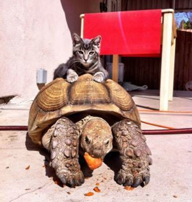 Animals Riding other Animals 8 - Cat Riding Turtle