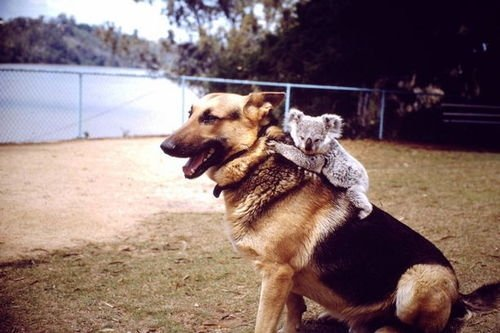 Animals Riding other Animals 9 - Koala on Dog