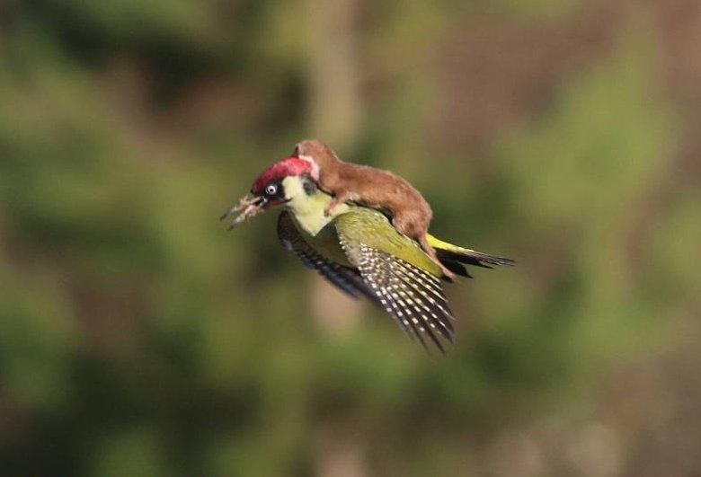 Animals Riding Animals - Weasel riding Green Woodpecker
