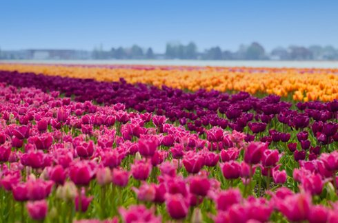 Tulip fields in the Netherlands 2 Unusual Places