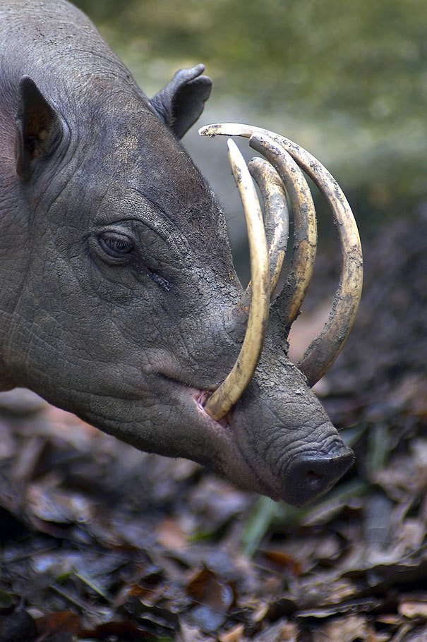 Babirusa (Hog-Deer) Strange Animal