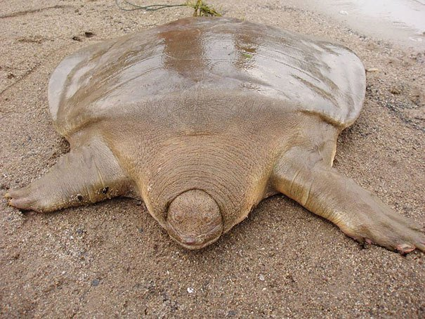 Cantor's Giant Soft Shell Turtle Strange Animal