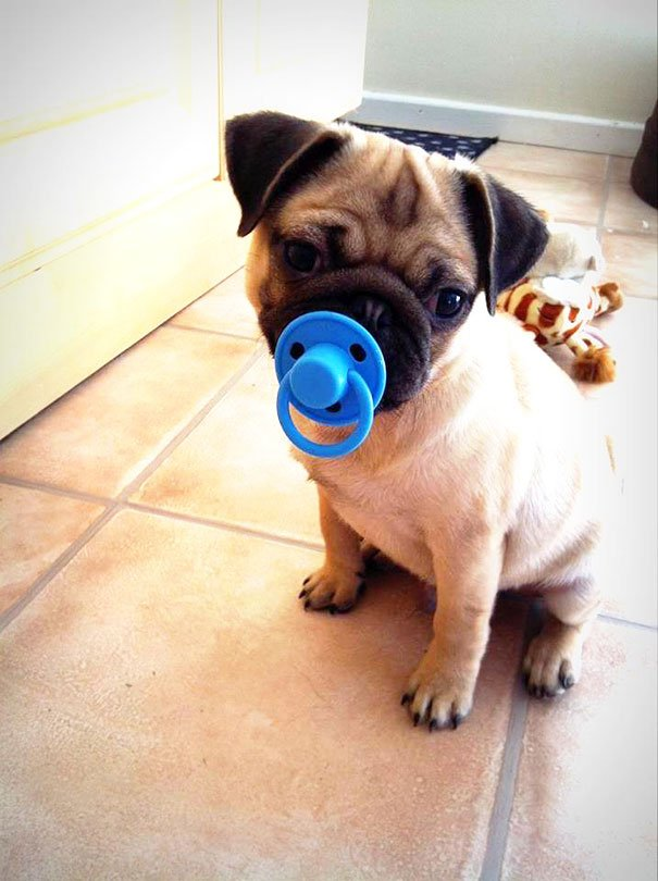 Cut Pug With His Toy Dog's Toys