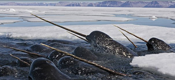 Narwhal Strange Animals
