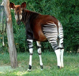 Okapi Strange Animals