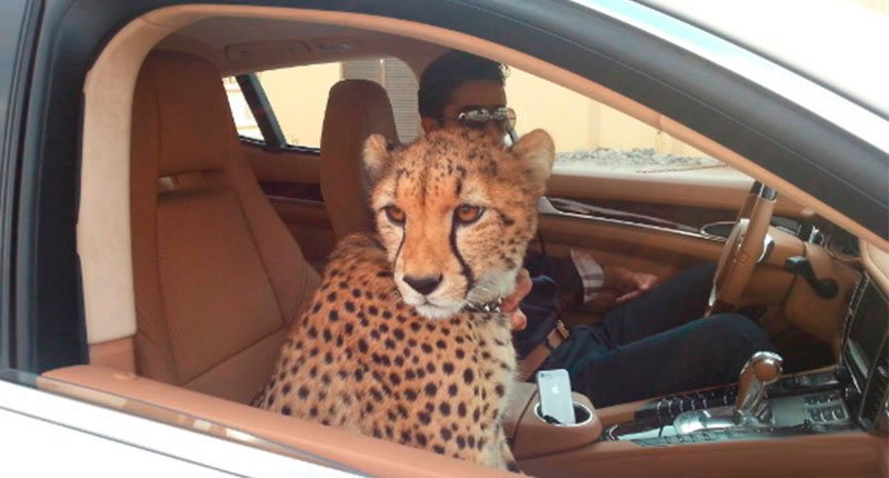Pet Tiger on the car, I want to die Crazy Dubai