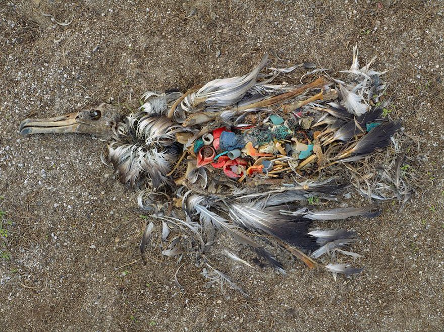 Plastic Kills, This Albatross is an example (Midway Islands - North Pacific) Overpopulation