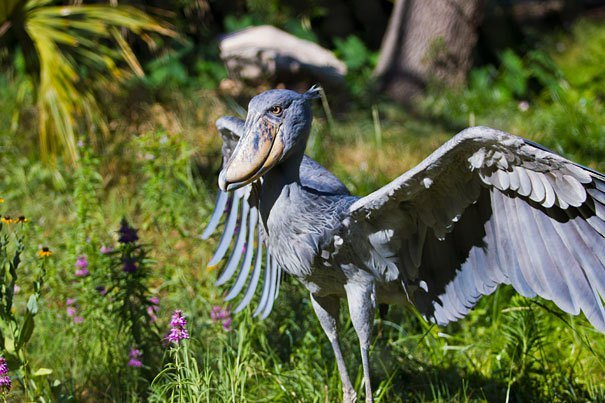 Shoebill Strange Animals