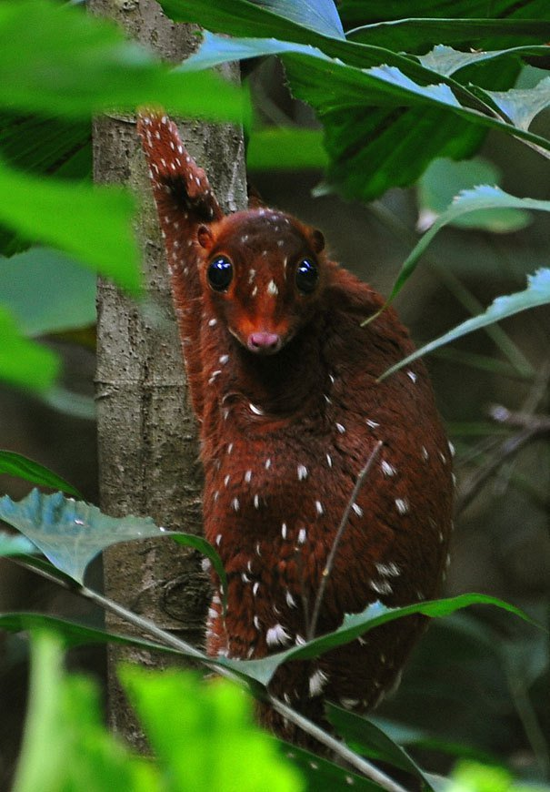 Sunda Colugo Strange Animals