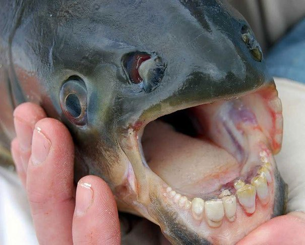 The Pacu Fish Strange Animals