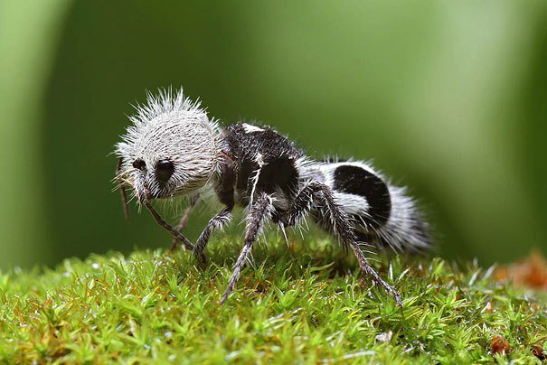The Panda Ant Strange Animals