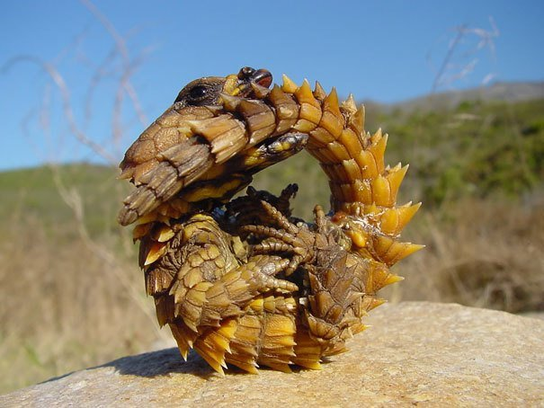 Thorny Dragon Strange Animals