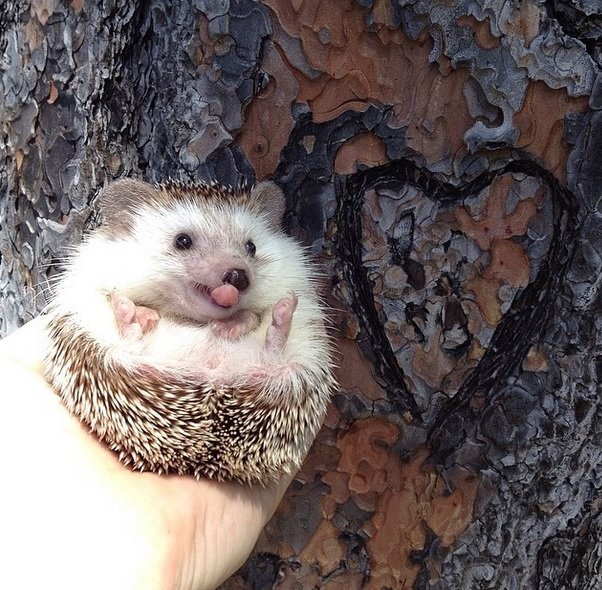 Tongue out Love Hedgehog