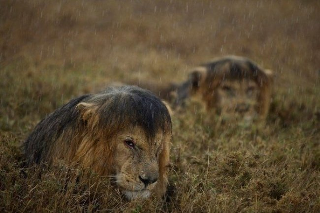 Wet Lions in Tanzania Popular photographs