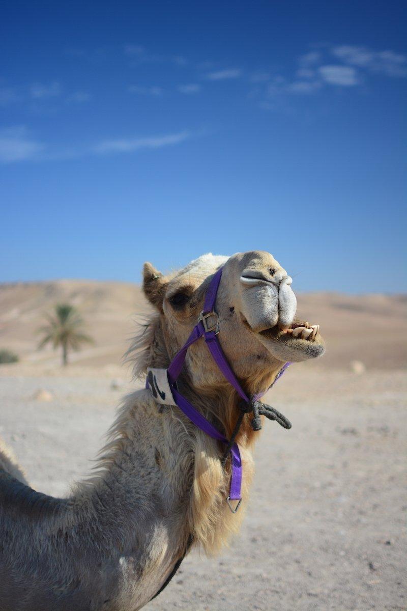 Camel in desert Beautiful Israel