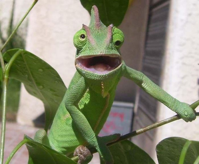Chameleon Surprised