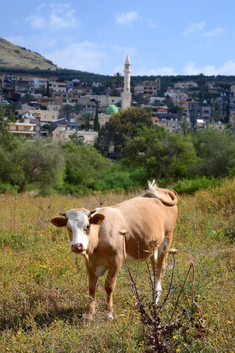 Cow in front of Beduin Village Beautiful Israel