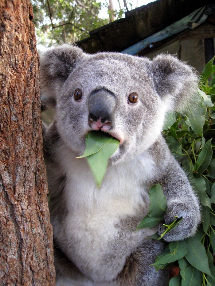 Koala Surprised