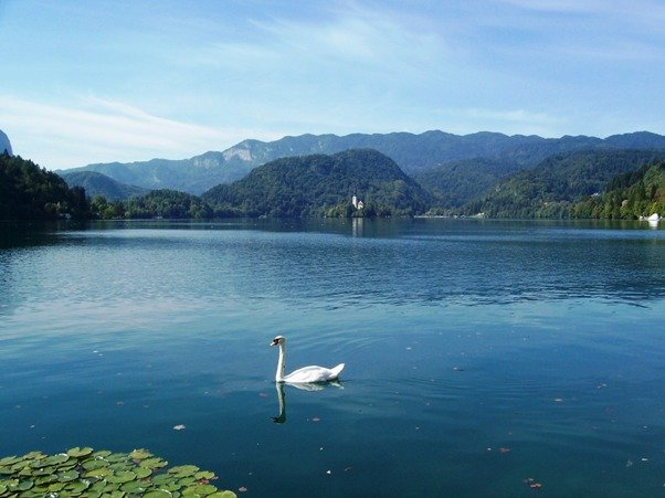 Swan Lake Bled of Slovenia