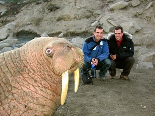 Best Animal Photobombs Ever 20a - Walrus