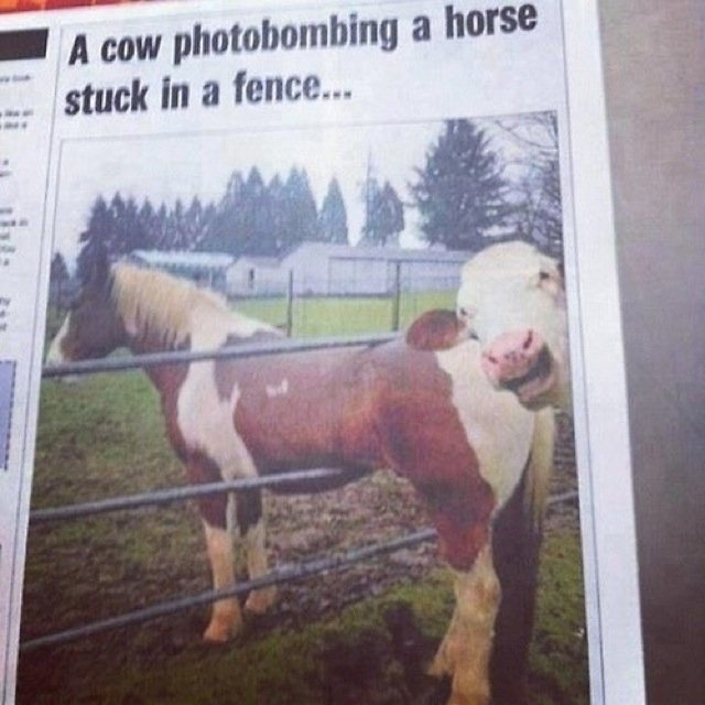 Funniest Animal Photobombs Ever 4 - Cow and Horse