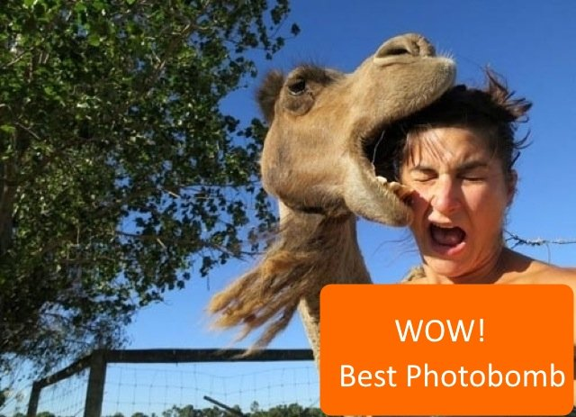 Best Animal Photobombs Ever 5a - Camel Bite Orange